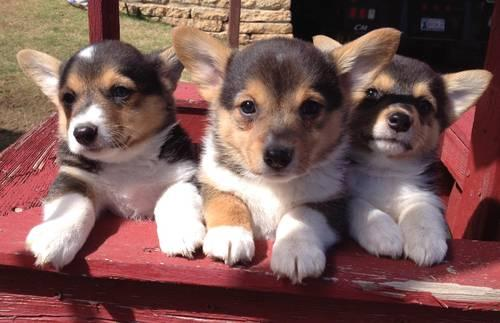 AKC Corgi Puppy