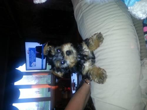 Yorkie puppy for Sale in Grigg, Illinois Classified