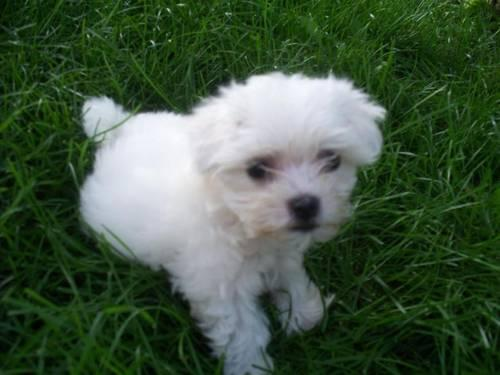 maltese breeders in michigan maltese puppy for sale in reed city michigan classified 566