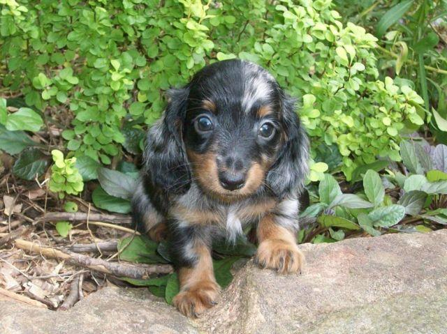 Miniature Dachshund Puppy for Sale in West Point, Georgia