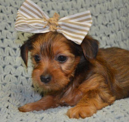 Morkie Milo Puppy