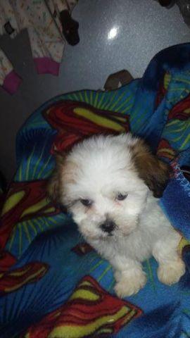Teddybear Puppy
