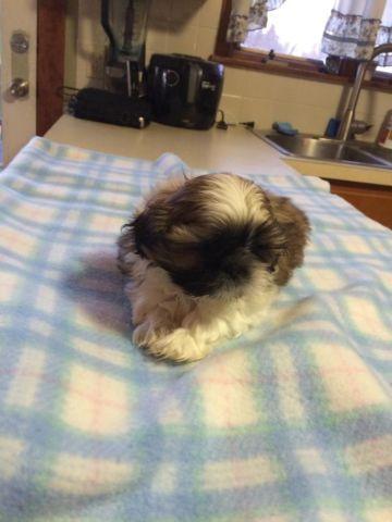 AKC Shihtzu Puppy
