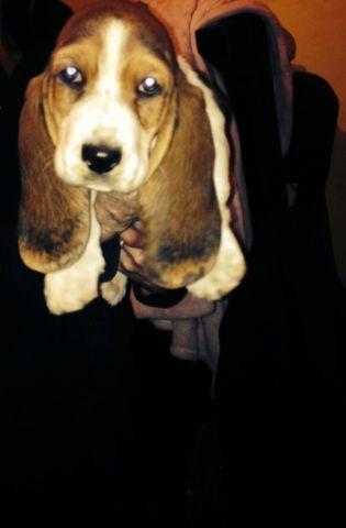 Basset Hound Puppy For Sale In Dixon Illinois Classified Hoodbiz Org