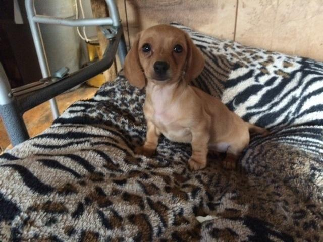 Dachshund Puppy For Sale In Hopewell Virginia Classified Hoodbizorg