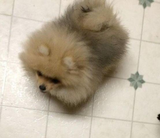 AKC Pomerania puppy