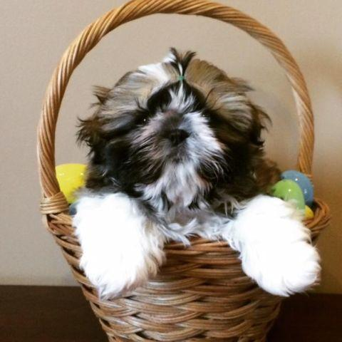 Shih tzu Puppy for Sale in Irvington, New Jersey Classified