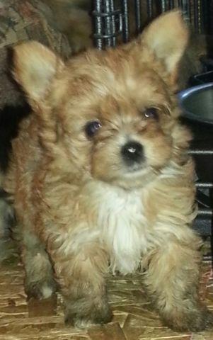 Golden Yorkie Puppy