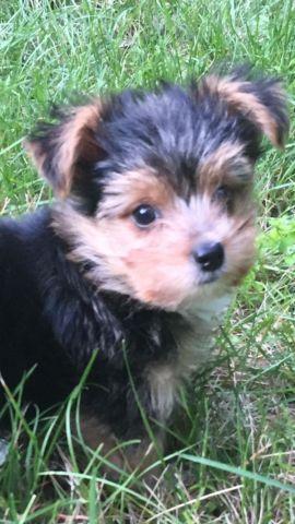 Yorkie mix puppy
