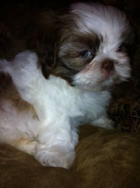 Precious Moments SHIH TZU Female puppy AKC Green Eyes