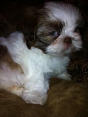 Precious Moments SHIH TZU Female puppy AKC Green Eyes