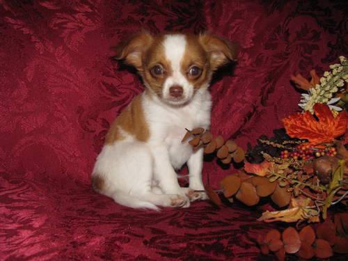 AKC Male Chihuahua Puppy *Atlas*