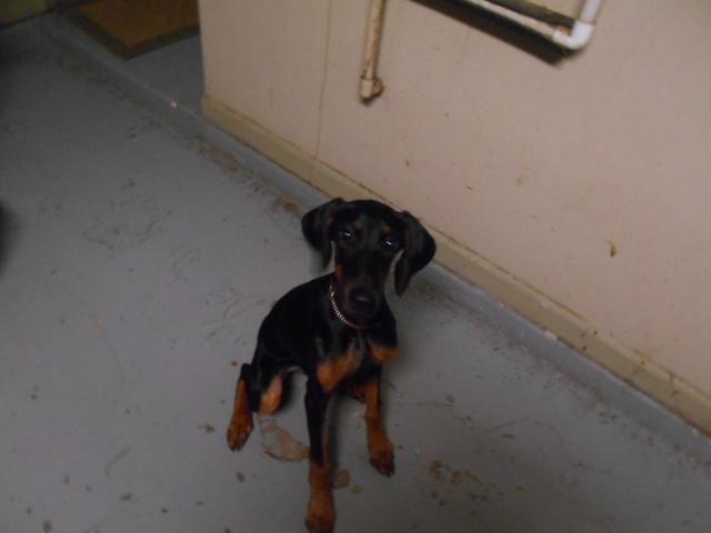 Doberman Female Puppy Black/Tan.