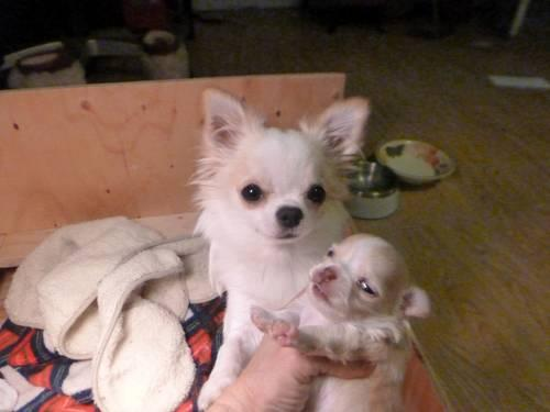 Adorable Female Chihuahua Long Hair Puppy (Born Jan. 1, 2013)