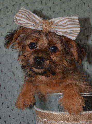 Tiny Chorkie Female Puppy Chantilly-Lace