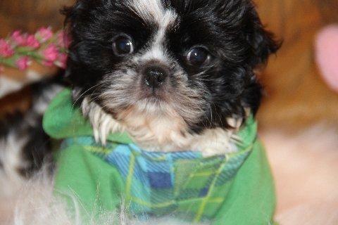Shih tzu puppy Female