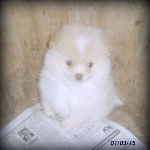 Cute CKC Pomeranian Puppy for Sale