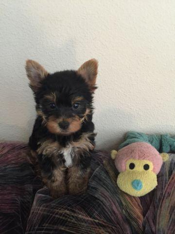 Cute AKC Yorkie Puppy For Sale