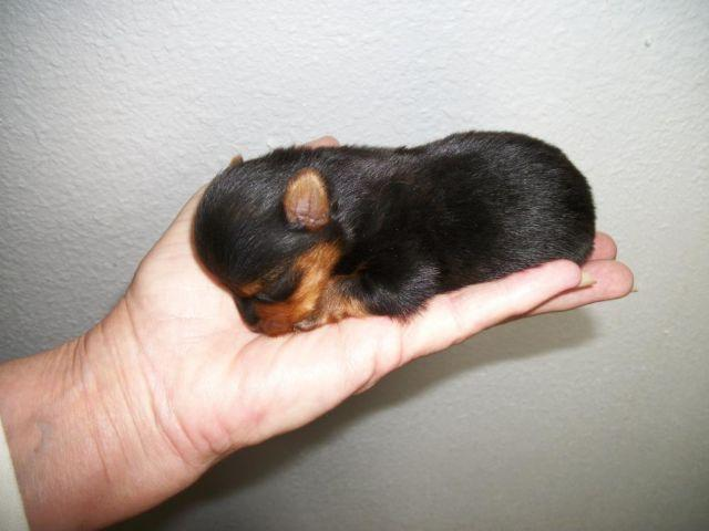 AKC Yorkshire Terrier puppy for sell