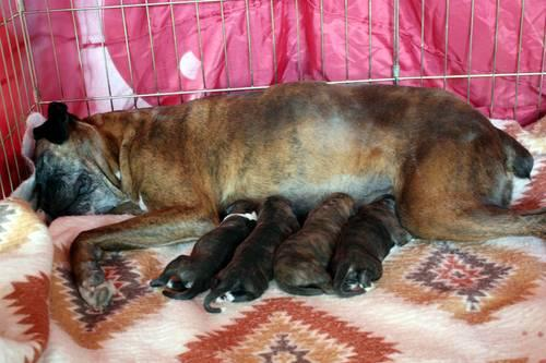 1/4 Euro Ch. Bloodline AKC Boxer Puppy Just In Time For Christmas