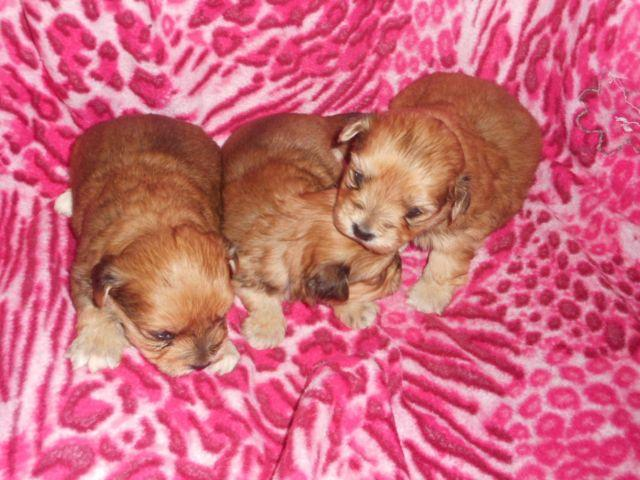 Cute Female Yorkie Crosses-Inlculdes a Puppy Kit-Ready April 15