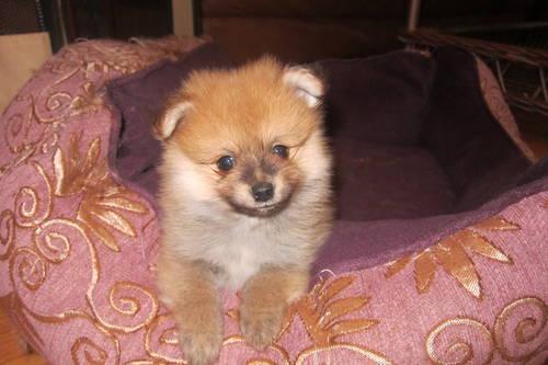 AKC Reg Pomeranian Puppy Male