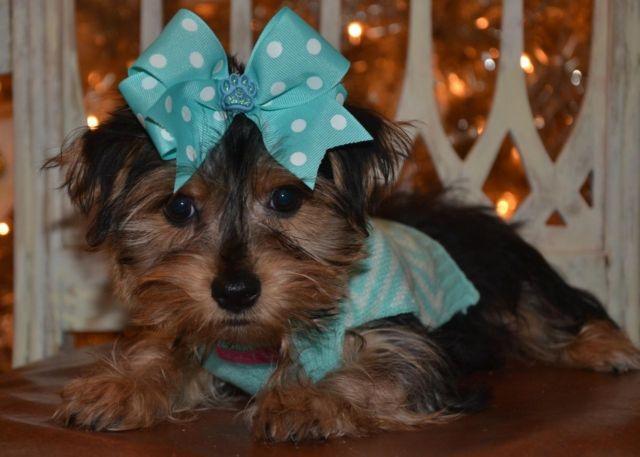 Tiny YorkiePoo Puppy Male