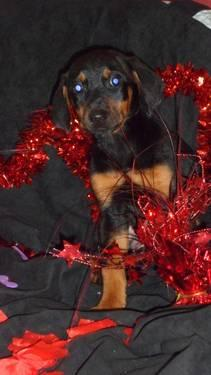 AKC DOBERMAN PINSCHER PUPPY
