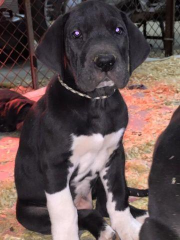 Female Great Dane puppy Price Reduced