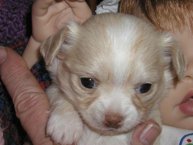 GHOST is an ADORABLE AKC CHIHUAHUA puppy ready for deposit now