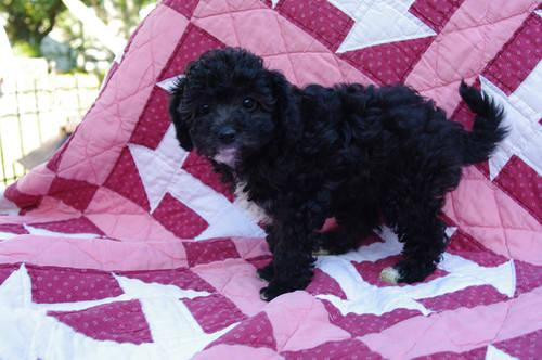 Trudy* Sweet Fluffy Cavapoo Puppy Ready NOW! Female for Sale