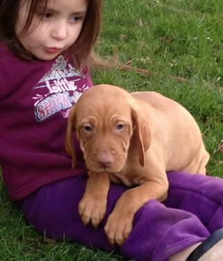 Male AKC Vizsla Puppy (Red Collar)