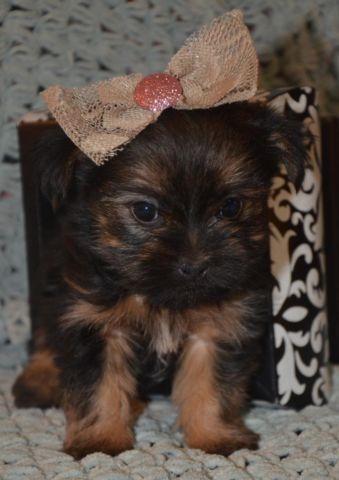 XS Shorkie Puppy Tessa