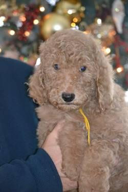 Female Standard Poodle Pups-13weeks old