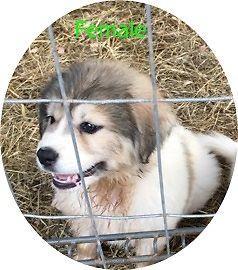 Great Pyrenees/Anatolian Shepherd pups-Barnesville GA