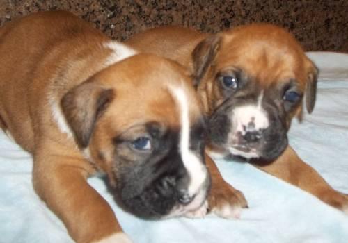 CKC boxer pups