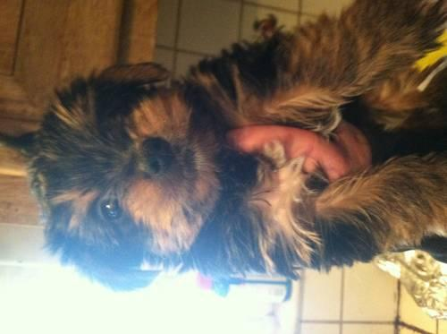 Bernedoodle pups for Sale in West Grove, Pennsylvania