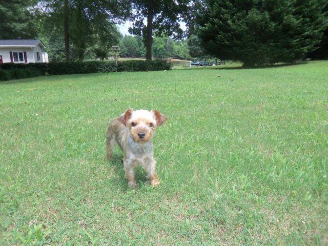 jackshund pups