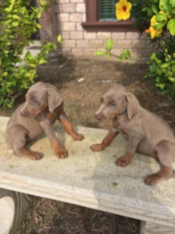 AKC Doberman Pups for Sale in Edcouch, Texas Classified