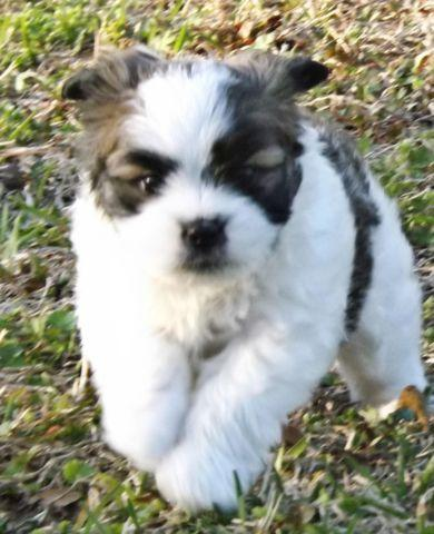 GORGEOUS,LONG,THICK HAIRED SHIH-TZU/POM (SHIRAINIAN) PUPS 8 weeks old