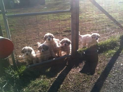 Great Pyrenees Puppy 2 Male Pups Available....8 Weeks Old Today!!!!