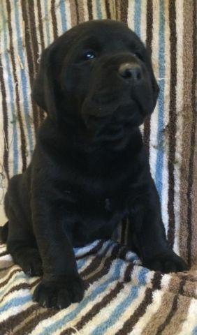 Labrador retriever pups black