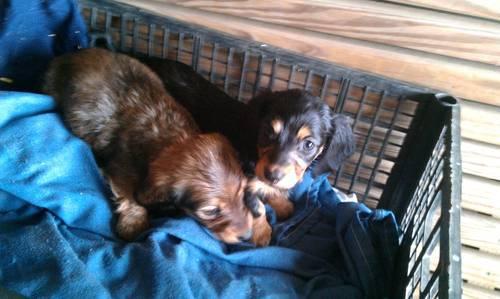 Longhair mini dachshund pups, CKC