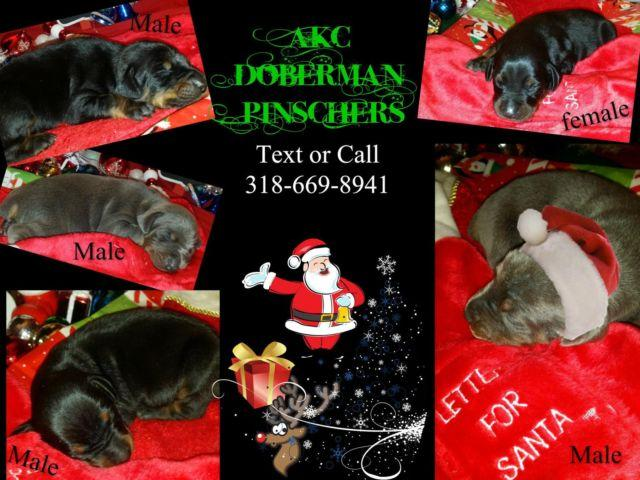 AKC Doberman Pinscher Pups European Bloodline