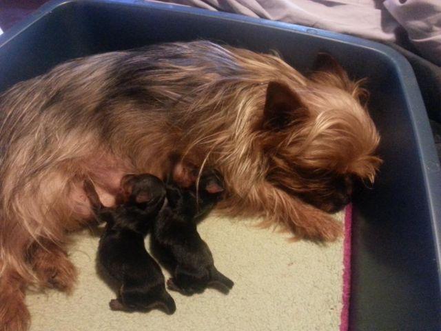 Tiny yorkie pups reg.
