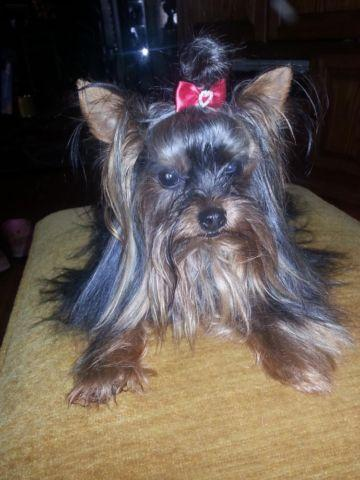 AKC YORKSHIRE TERRIER PUPS TINY