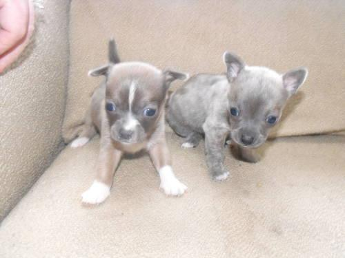 Chihuahua Teacup Blue male pups (with papers)