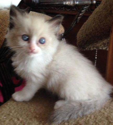 GORGEOUS RAGDOLL KITTENS, PUREBRED, WITH PAPERS!! for Sale