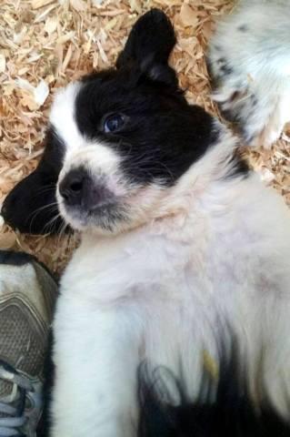 3/4 Landseer Newfoundland, 1/4 Great Pyrenees cross puppies for sale