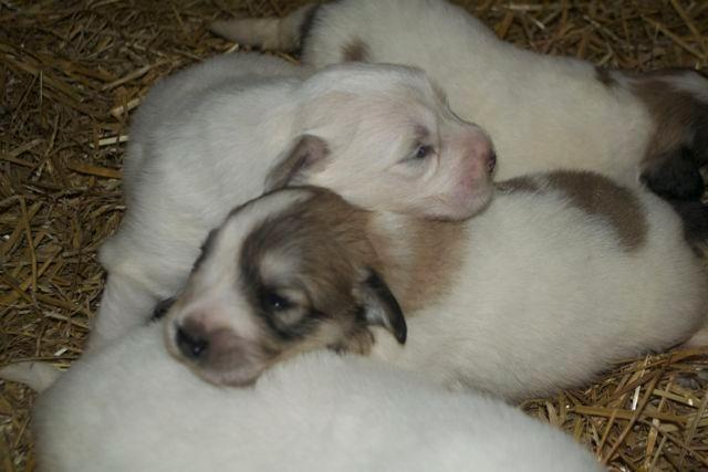 AKC Great Pyrenees pups